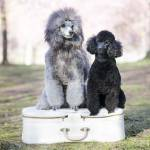 poodle puppies Profile Picture