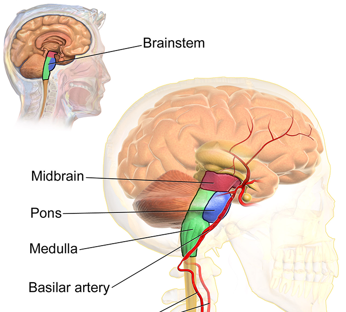 Function of the midbrain