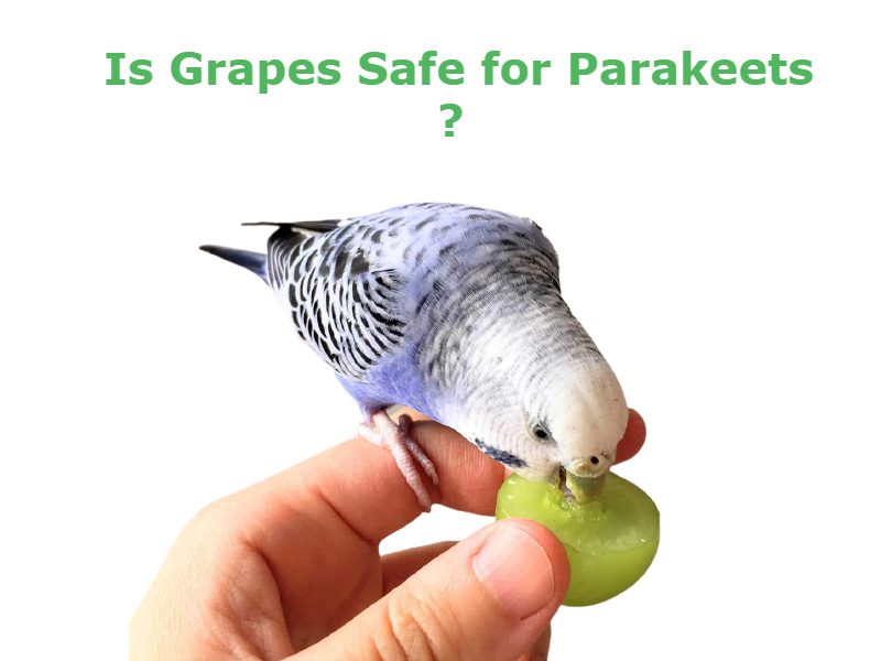 Can parakeets eat grapes? Does it healthy food for parakeets